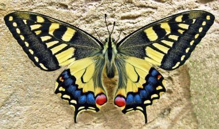 mariposa-apa-itu